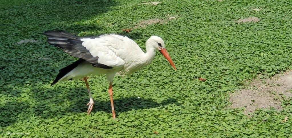 Margaret isalnd - Stork