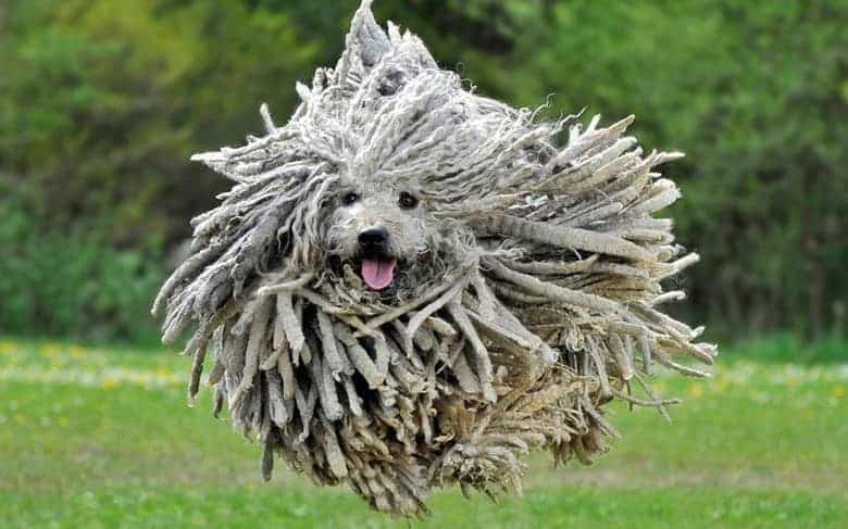 funny puli, puli is the best known hungarian dog breed