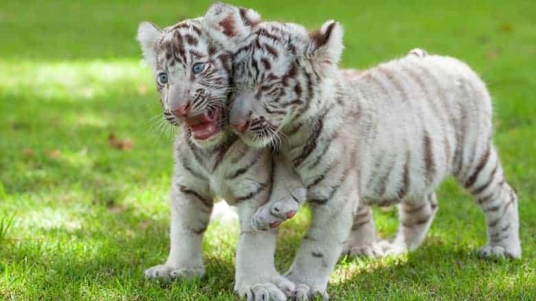 tigers Gyor zoo