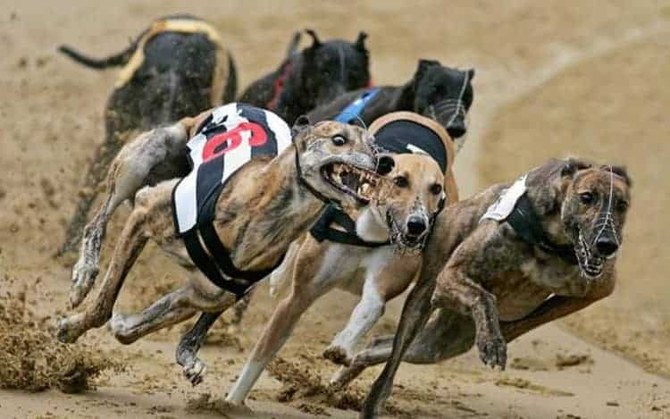 hungarian greyhound race