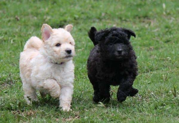 two little cute pumi