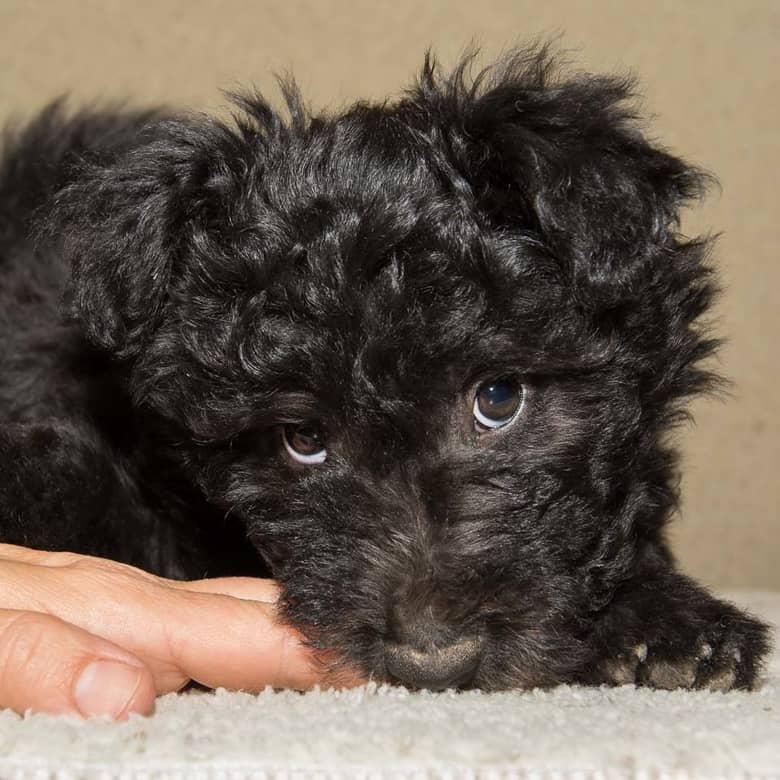 8 weeks old pumi pup