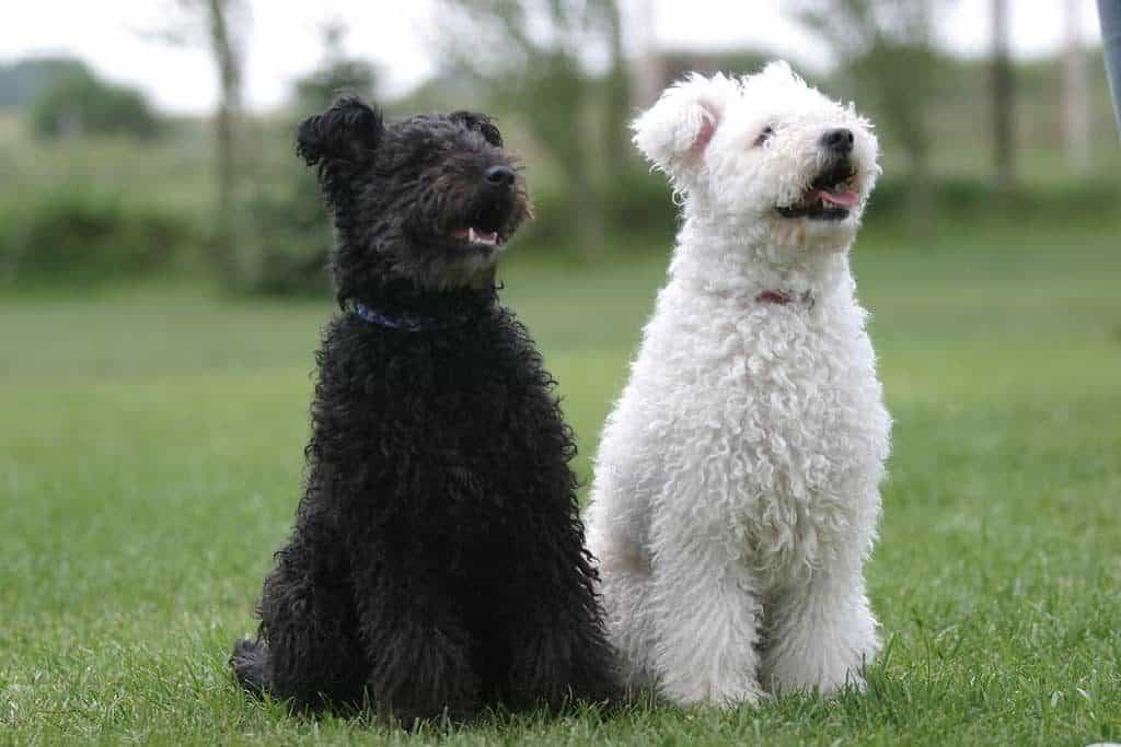 A cute black and a white pumi sitting and watching
