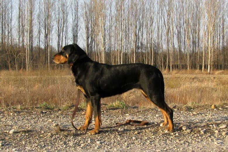 Transylvanian hound elegant dog breed