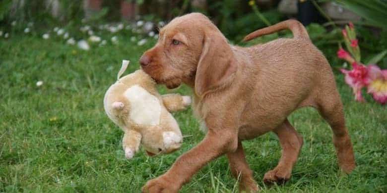 vizsla is playing , toy,