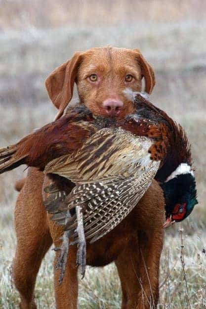 Perfect hunting dog
