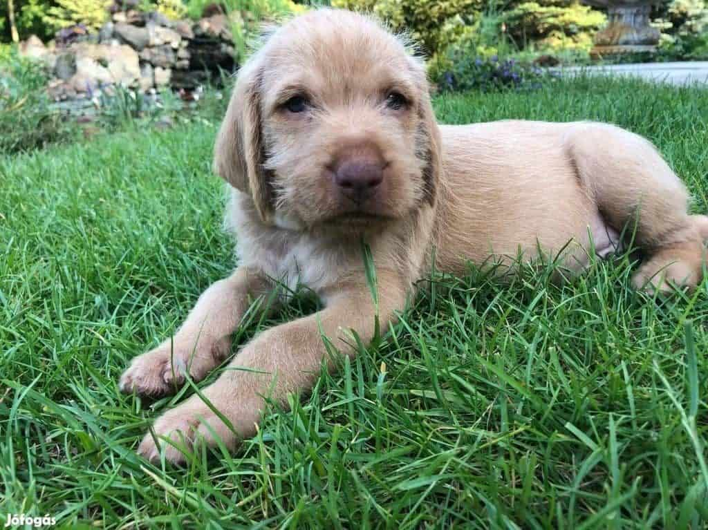 wirehaired vizsla puppy, soo cute