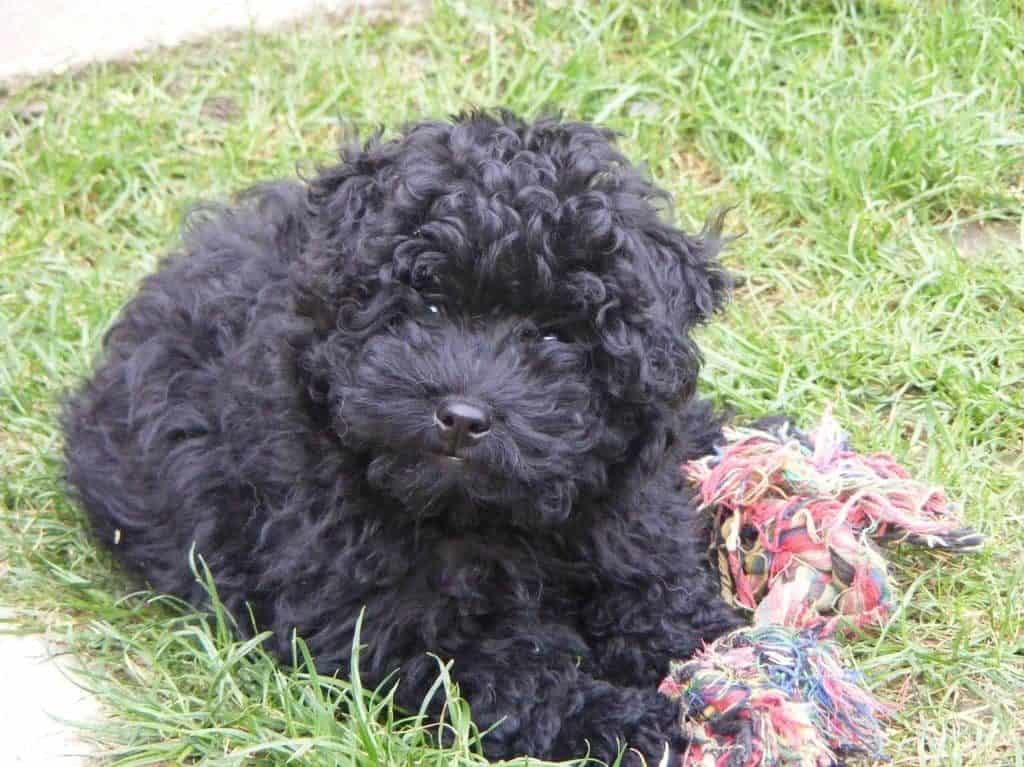 Cute black puli puppy.