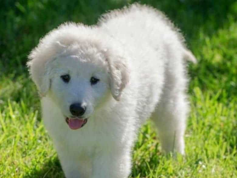 cute kuvasz puppy