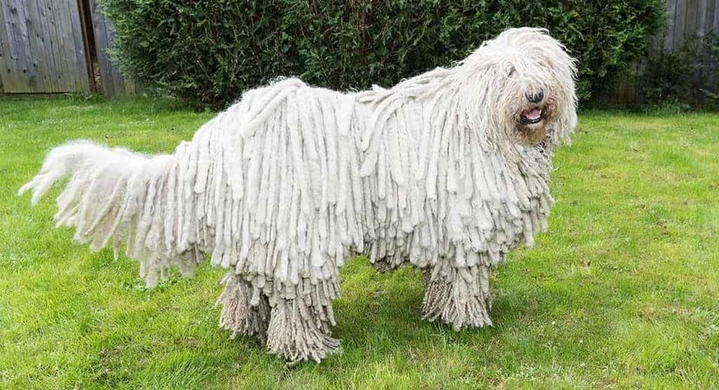 hungarian sheep dog: komondor