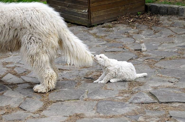 little komondor pulls her mom's tail