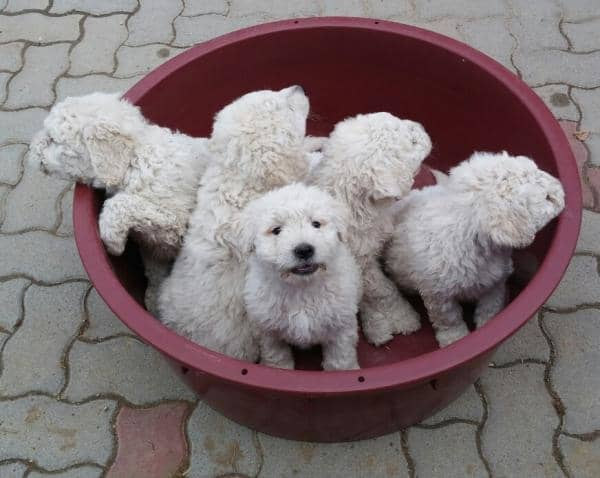 small komondor puppies