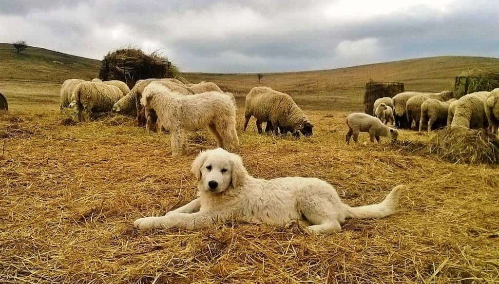 kuvasz is a guarding sheepdog