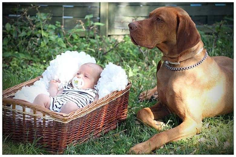 vizsla is loyal to their family