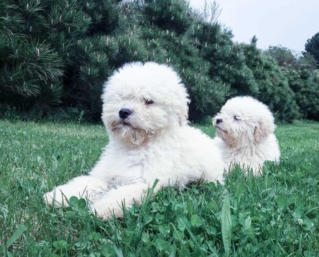 white puli puppies