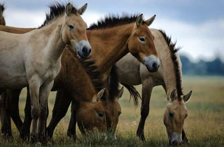 Wild horses at Hortobagy National Park