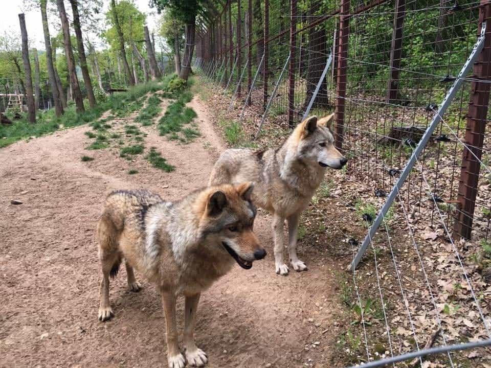 Budakeszi Wildlife Park, Wolves