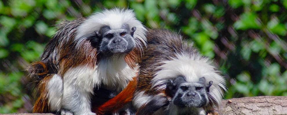 The city wildlife park of Miskolc, Cotton-top tamarin