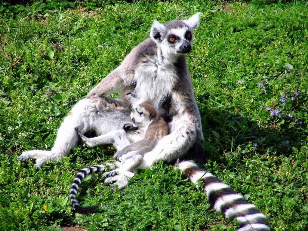 Nyiregyhaza Zoo -Lemur